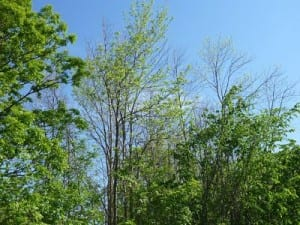 EAB infested ash tree in forest