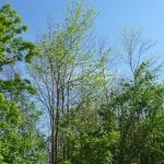 eab-infested-ash-tree-in-forest
